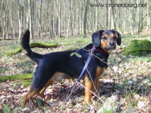 Spürhund Bilbo im Wald